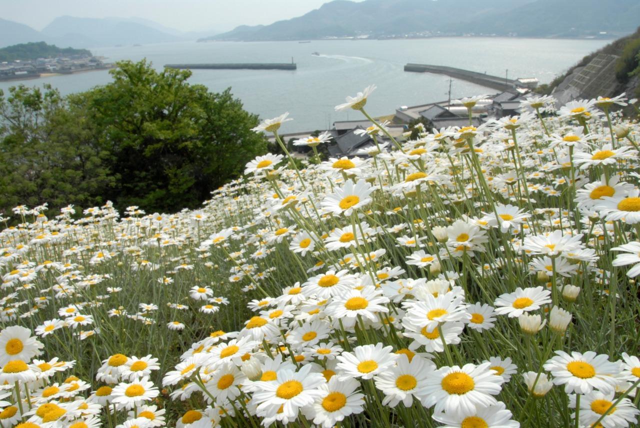因島・重井西港斜面の除虫菊畑