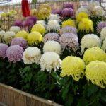 尾道菊花展が千光寺公園で開催されています。