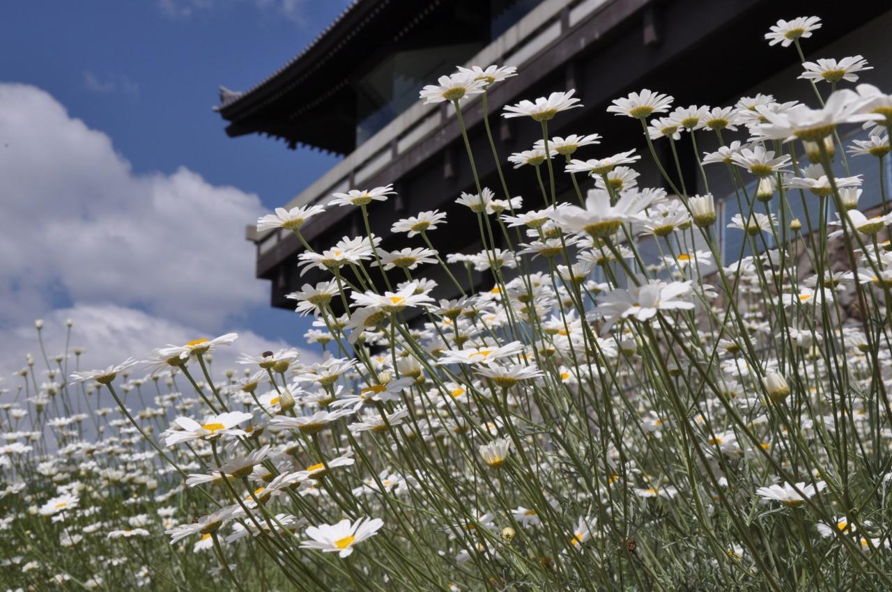 尾道市立美術館南側斜面の除虫菊