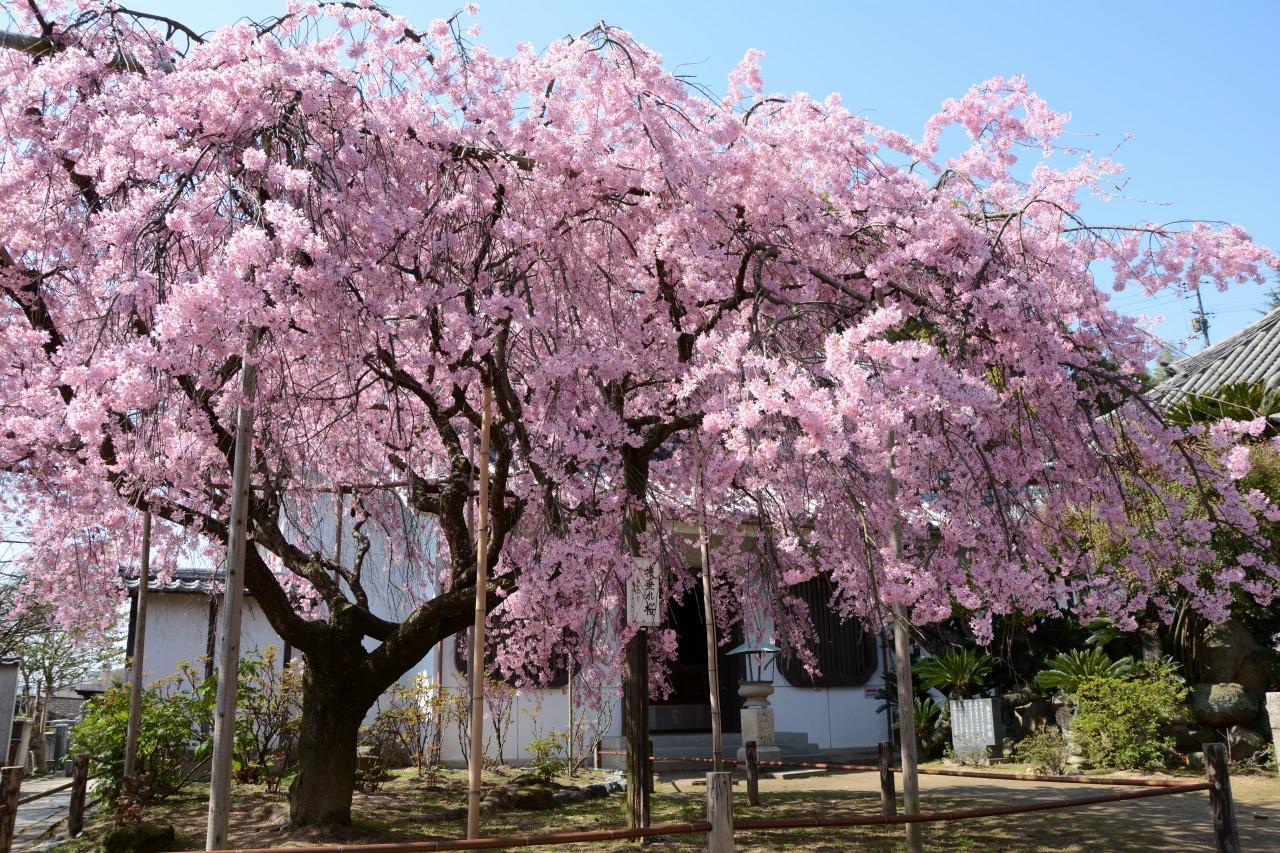 枝垂桜天寧寺の